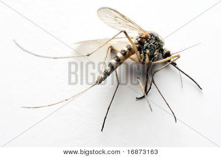 Mosquito Anopheles - peligroso vehículo de infección