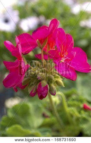 Magenta Flower Blossom