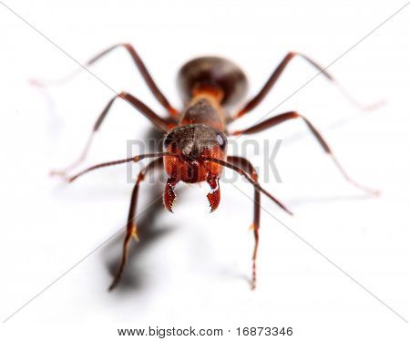 Attacking big red ant isolated on white background.  Macro with shallow dof. poster