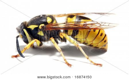 Close-up of a live Yellow Jacket Wasp on white background