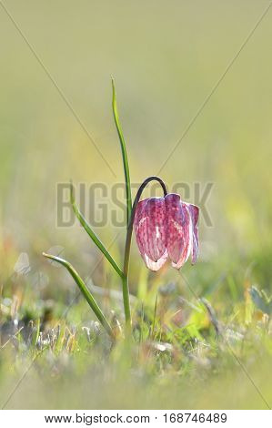 Endangered wild Chess Flower (Fritillaria meleagris) on spring meadow
