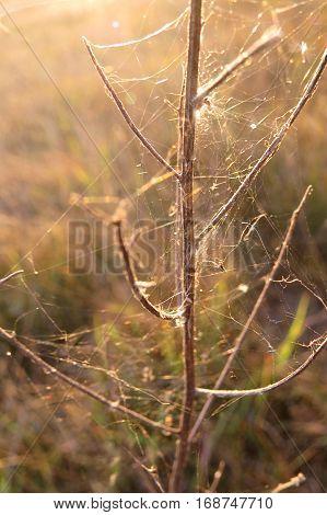 Spider web covered stick plant in Australian bush grass paddock