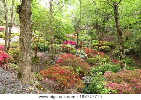 Azalea rhododendron plants shrubs in woods bush bushland