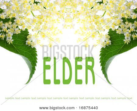 Elder picture with easy removable text. Sambucus nigra - Elder - The flowers and berries are used most often medicinally.
