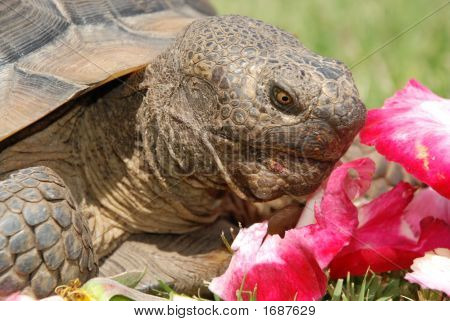 Tortoise With Rose Petals