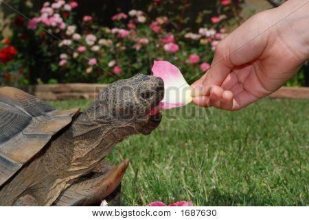 Tortoise Eats Rose