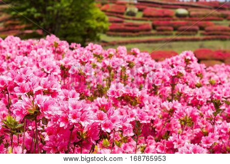 Bright pink azalea flowers in front of red flower garden