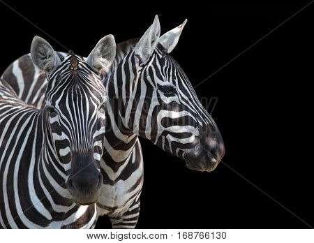 The Plains Zebra, Equus quagga is big mammal from Africa. Animals on black background. Wildlife and safari thematic picture with space for your text.
