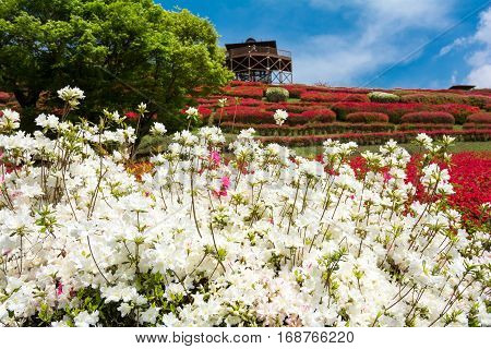 White azalea flowers in front of red flower garden under sky