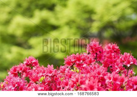 Vivid pink azalea flowers in front of green blurs