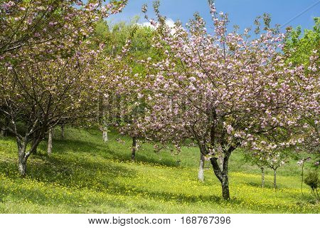 Pink double cherry blossoms and ground covered yellow flowers