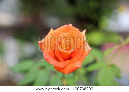 beautiful orange rose bud in the rain with rain drops