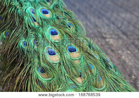 Peacock aka Peafowl