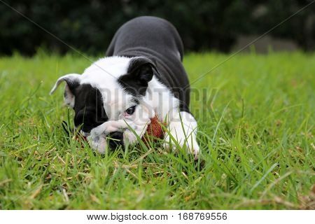 Bulldog puppy. A beautiful black and white bulldog puppy plays, runs, and jumps in fresh green grass while outside for a walk.