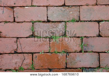 Red Brick walkway with grass and green plants growing between the cracks in the rain outside