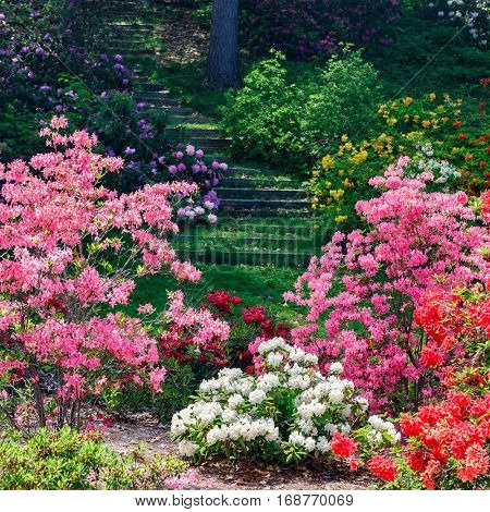 Azalea and rhododendron plants flowering in the garden.