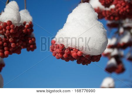 Beautiful branch mountain ash covered with snow close-up.
