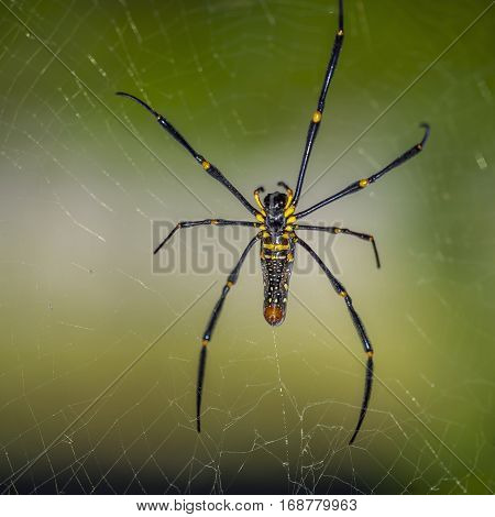 Jungle of Thailand. Spiders pilipes Nephila - is the largest species of the genus and the largest spiders spinning trapping network. Females reach twelve legspan cm with a body length of four cm.