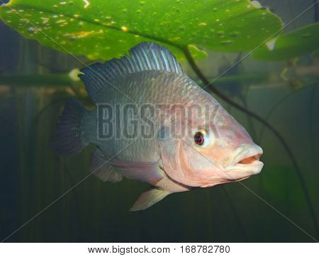 Underwater photography of The Tilapia fish - Oreochromis mossambicus. The tilapiines are the very important commercial fish.