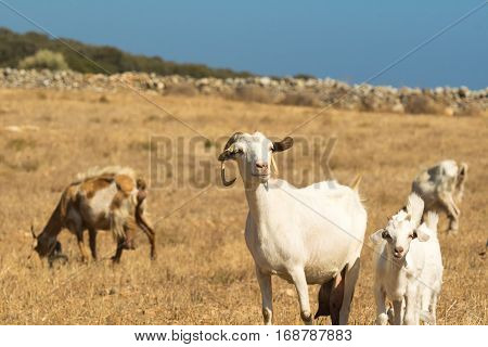 Goats grazing out in the nature on a beautiful sunny day at Paros island in Greece.