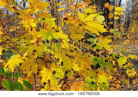 Maple tree leaf diseases. Tar black spot is one of the most readily visible and easiest maple diseases to diagnose.