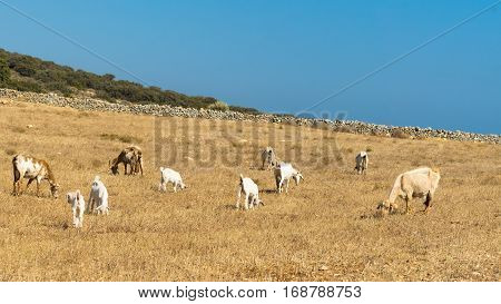 Grazing area for goats and sheep at Paros island in Greece.