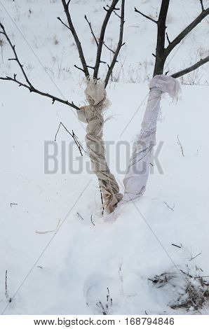 Fruit tree damaged by rabbits (Oryctolagus cuniculus) and other rodents by eating the bark in winter. Preventing and Repairing Animal Damage to Trees