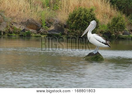 pelican is standing on the rock in the river