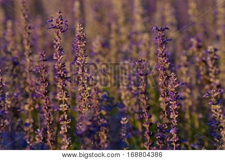 Mealy Cap Sage flower in evening light