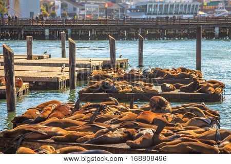 Crowds of sea lions at Pier 39 in San Francisco. Pier 39 is popular tourist attraction in San Francisco, California, United States. Travel holidays concept.