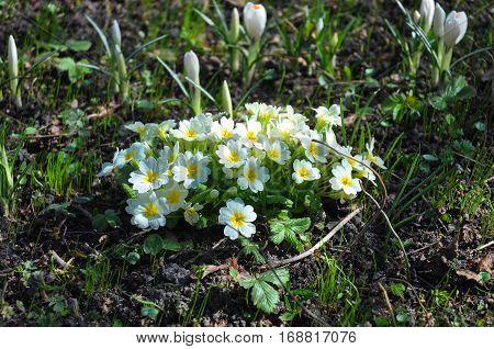 Primula veris. Spring Flowers in the Garden