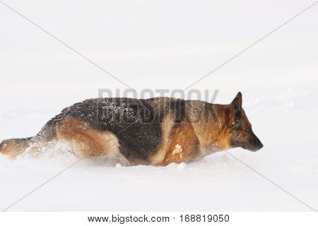 German Sheepdog Standing Outside In White Snow