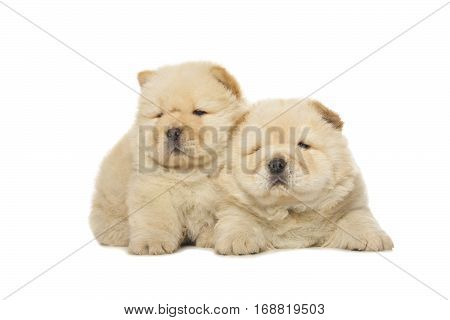 Chow-chow Puppies