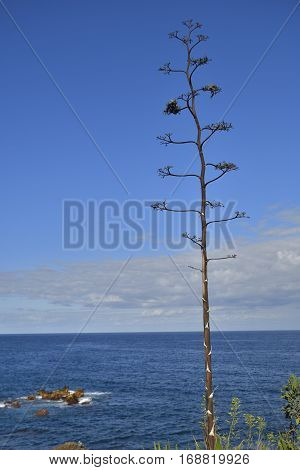 Dried Agave inflorescence (Agave americana) with blue heaven and sea in background picture from Puerto de la cruz.