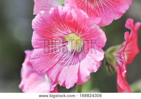Hollyhock flower in the garden , Alcea Rosea