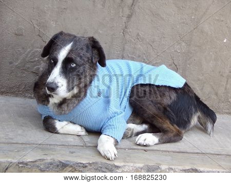Dog with a sweater in a street in Bolivia