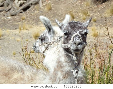 Two domesticated lamas in close-up in Bolivia