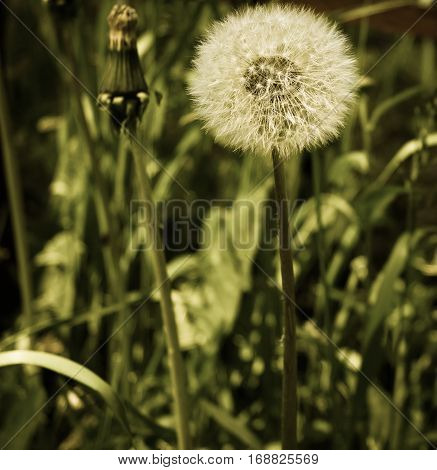 beautiful dandelion, the perfection and simplicity of style