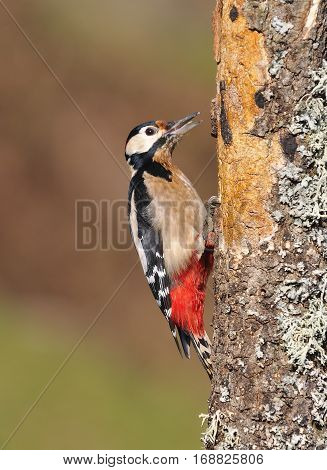 Great Spotted Woodpecker Perched On A Log.
