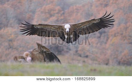 Griffon Vulture Landing On The Meadow.