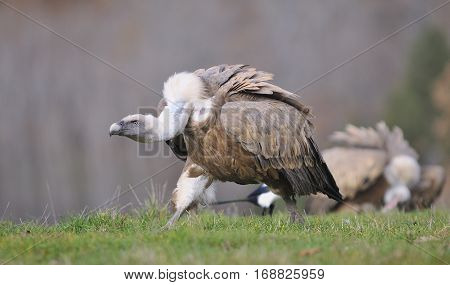 Griffon Vulture In The Meadow Of Leon.