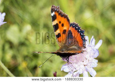 Orange butterfly with wings spread on white flower