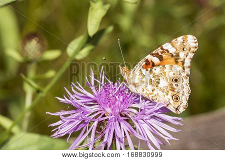 Butterfly feeding on purple flower , soft background