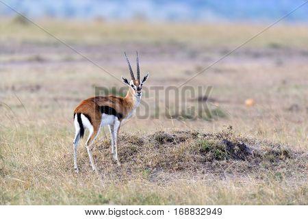 Thomson's Gazelle On Savanna