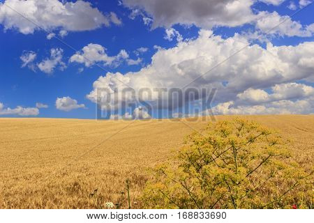 Between Apulia and Basilicata.Between Apulia and Basilicata:countryside with cornfield shaded by clouds.ITALY.