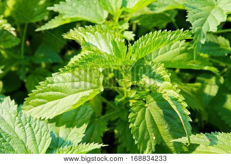 Green nettle plants on the meadow close-up