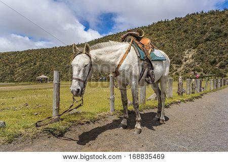 White Horse Tied Up At Cotopaxi National Park Ecuador