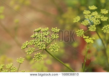 parsley plants and flowers in the garden