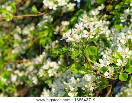 Blossoming branch of a pear tree in spring