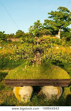 Massive Bonsai in bright afternoon sunlight in garden in Hue Imperial Palace
